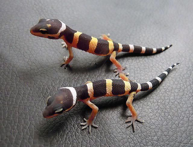 Молодые леопардовые гекконы