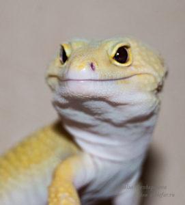 Портрет леопардового геккона