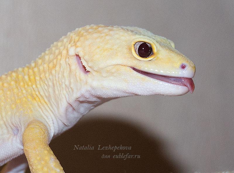 Красивые глаза эублефара