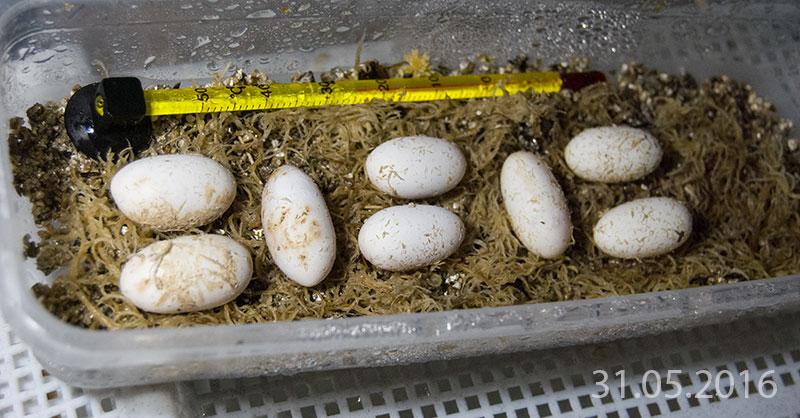 Яйца эублефара.