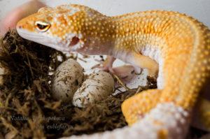 Кладка яиц эублефара