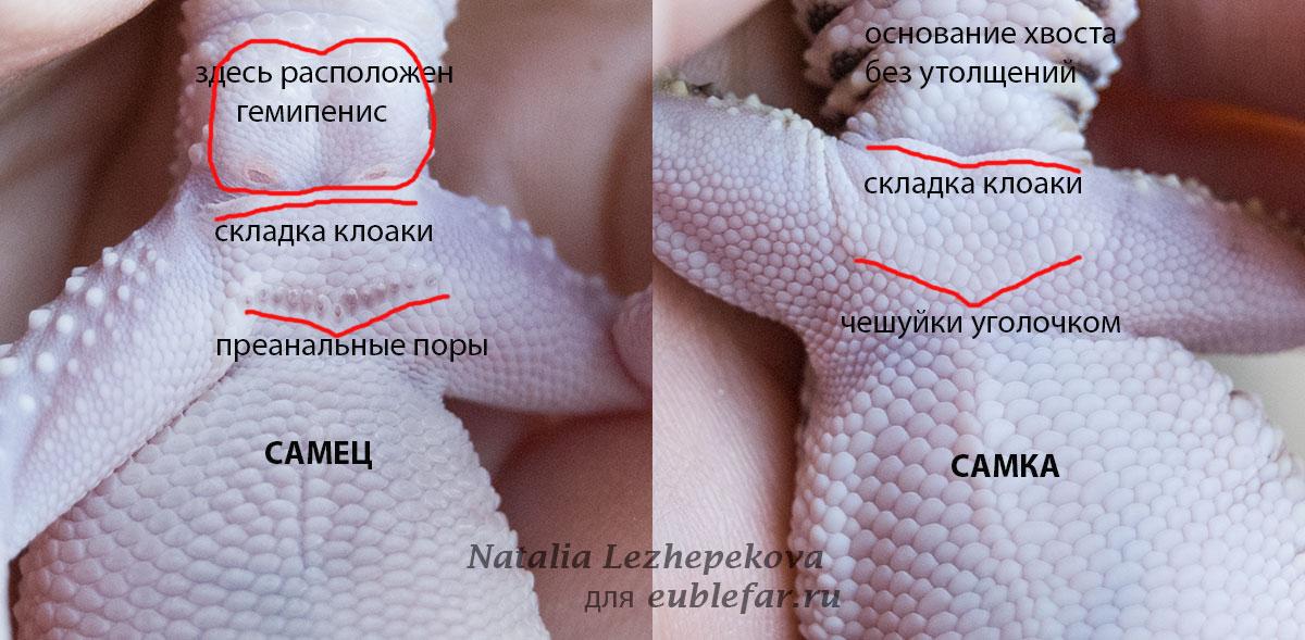 КАк определить пол эублефара